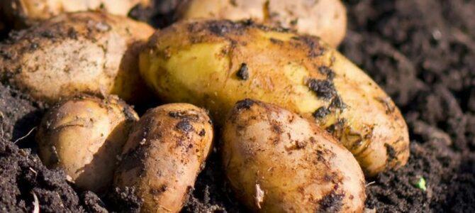 7 méthodes de plantation différentes pour faire pousser des pommes de terre